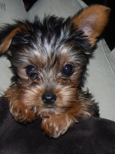 yorkshire terrier for sale mn akc yorkshire terrier yorkie quot teacup quot puppy puppies for 6089