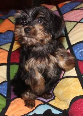 AKC Yorkshire Terriers