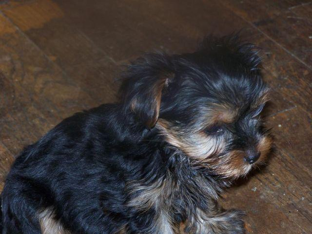 yorkie breeders washington state akc yorkshire yorkie puppies for sale in kent 4767