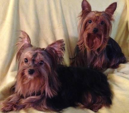 AKC Yorkshire (yorkie) puppies, Gorgeous 8 weeks old