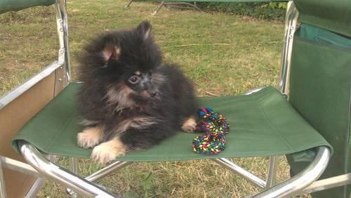 AKC Black and Tan Pomeranian Puppy- Female-11 weeks old in Blue Ball