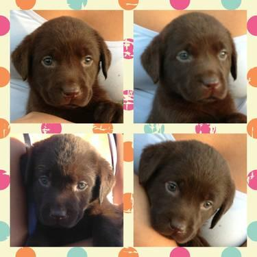 English Labrador Retriever For Sale In Ma   Dog Breeds Picture