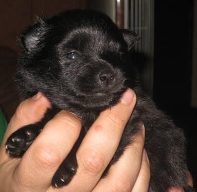 Akc Pomeranian Breeders Mn
