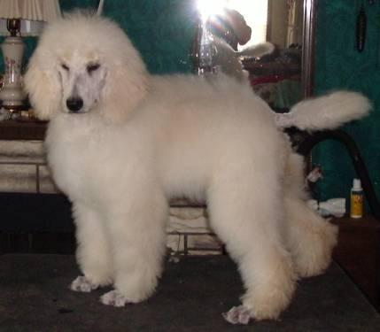 AKC/UKC Cream Standard Poodle Puppy Girl in Richmond, Kentucky For