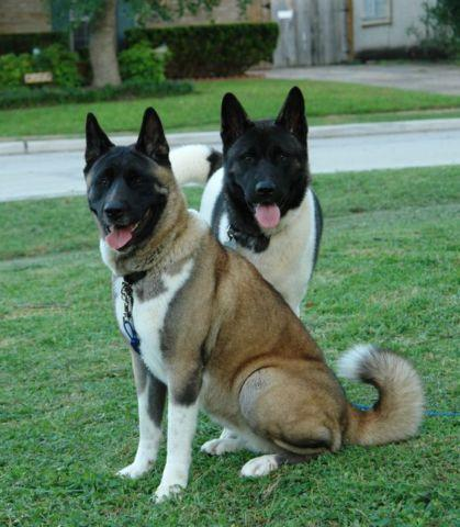 Akita Puppies For Sale In Houston Texas Classified Americanlistedcom