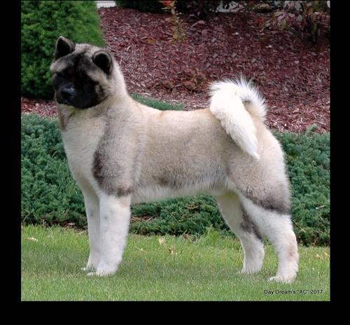 Akita Puppy For Sale Adoption Rescue For Sale In Newberry