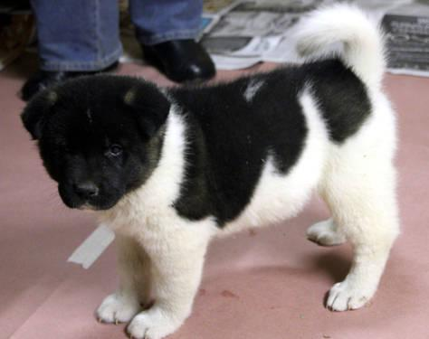 Akita pups,puppies,AKC, 7weeks
