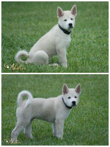 Akute (Akita x Alaskan Malamute) Puppies! 12 weeks old ...