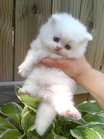 Siamese Kittens Knoxville Tn - The Cutest Kittens