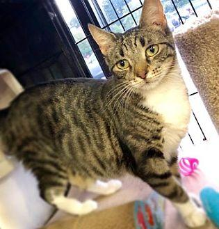 Alana Domestic Shorthair Young Female
