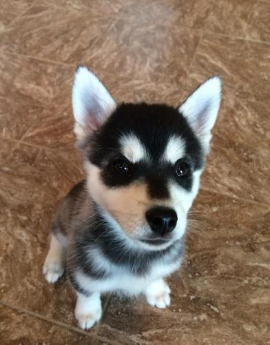 Alaskan Klee Kai Puppy For Sale Adoption Rescue For Sale In
