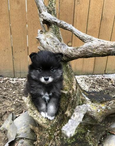 Alaskan Klee Kai Puppy for Sale - Adoption, Rescue