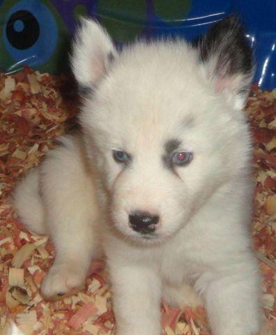 alaskan nanuk puppies rare arctic breed similar to