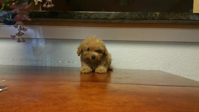 Teacup Poodle For Sale In Washington Classifieds Buy And