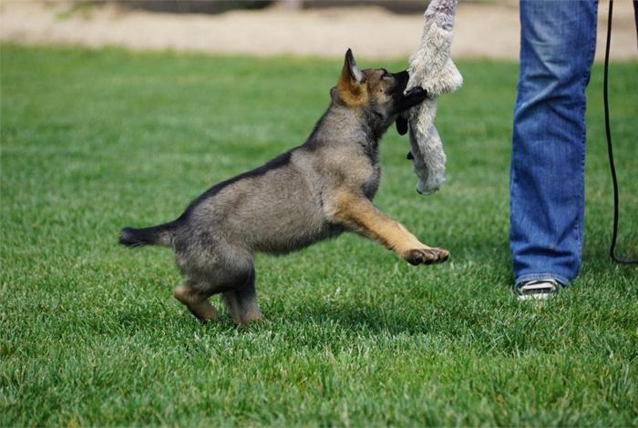 Alert German Shepherd Pups