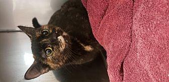 Alice Domestic Shorthair Adult Female