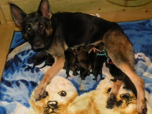 All Black and Sable AKC German Shepherd Puppies for Sale