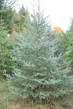 All Trees $30-VETERANS GET FREE Christmas TREE with any Tree Purchase