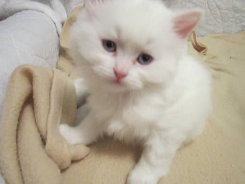 all white kitten for sale in grand island nebraska