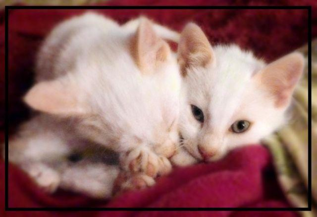 all white kittens for sale   10 weeks old for sale in cannon falls