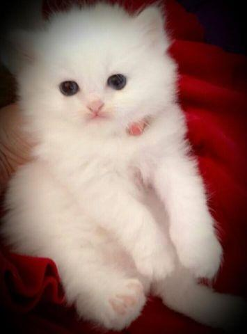 ALL WHITE PUREBRED BEAUTIFUL SNOW WHITE PERSIAN KITTENS