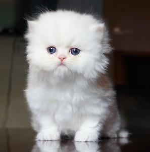 ALL WHITE PUREBRED PERSIAN KITTEN ODD EYED MALE 8 weeks