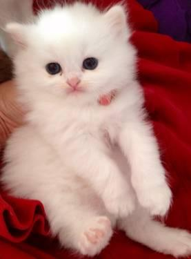 All white Purebred persian kittens 2 left-male and