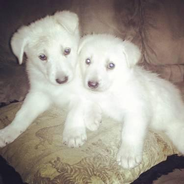 """""""ALL WHITE"""" Shepherd Puppies for Sale in West Memphis ..."""