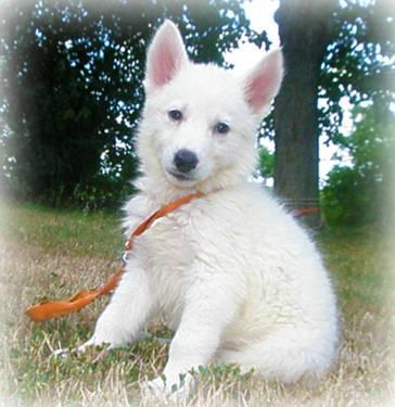 All White DDKC German Shepherd/Siberian Husky Shepsky Puppies for Sale