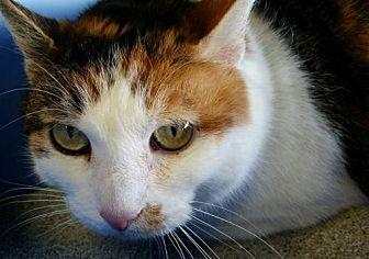 Allie Domestic Shorthair Adult Female