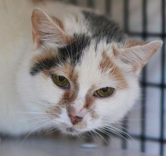 Allspice Domestic Shorthair Senior Female