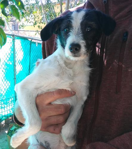 Aloe Terrier Baby - Adoption, Rescue