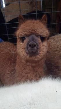 Alpaca Herd-$1200