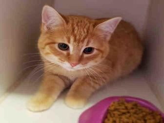 ALVIN Domestic Shorthair Kitten Male