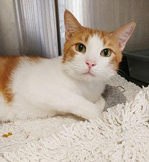 Alvin Domestic Shorthair Young Male