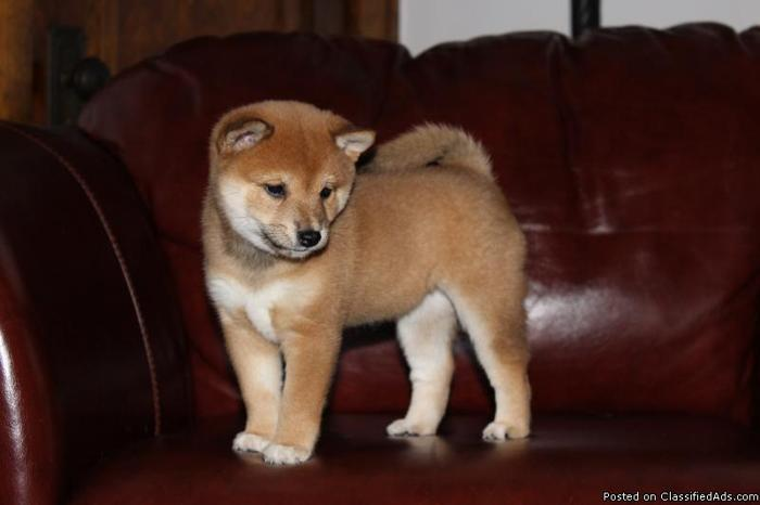 Always Wanted A Shiba Inu Puppy For Sale In Swanton Ohio