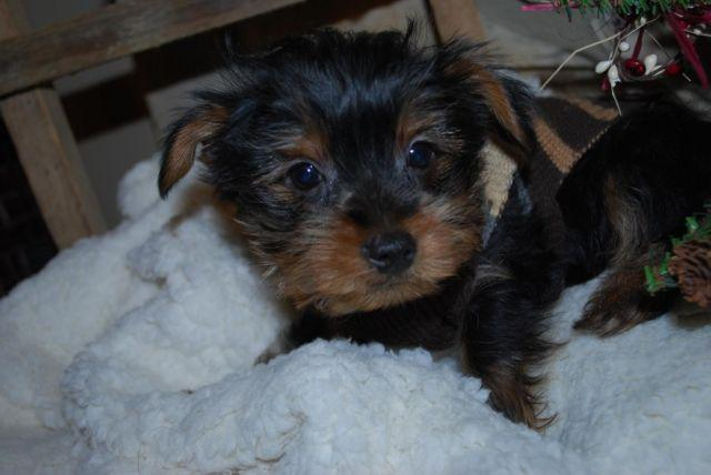 Amazing adorable ckc yorkie
