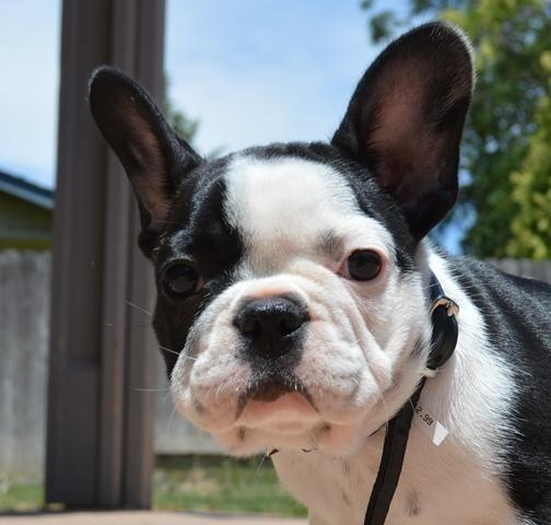 french bulldog for adoption amazing akc french bulldog puppy for adoption for sale in 1897