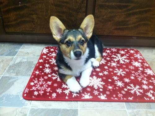 Amazing AKC Pembroke Welsh Corgi Puppies!