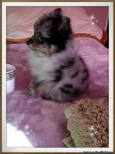 Pomeranian Blue For In California Clifieds And