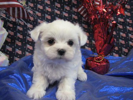 Amazing Havanese, Hypo-Allergenic Coton de Tulear and Beautiful Maltese  Puppies For Sale