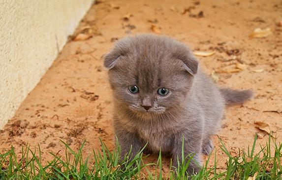 Amazing Scottish Fold Kittens For Sale!
