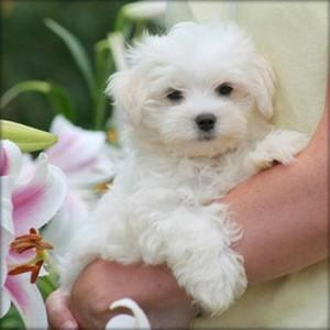 Amazing Teacup Maltese Puppies for Sale in North Carolina USA