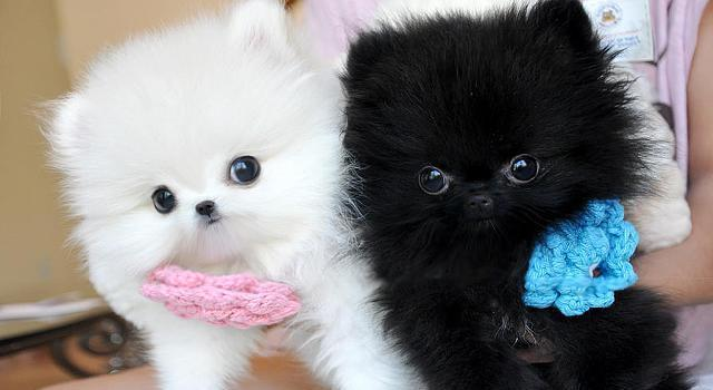 Amazing Teacup Pomeranian Puppies ready For Adoption  for