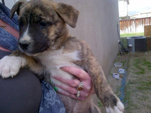AMAZING PIT BULL and HUSKY MIX PUPPIES for sale in Hemet, California