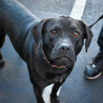 Amber Labrador Retriever Adult Female