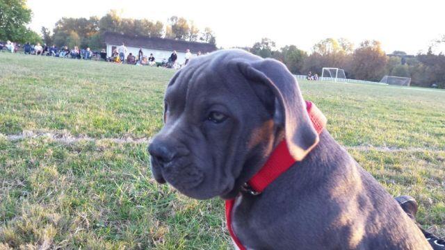 American Bandogge American Bulldog X Cane Corso Pup 11 Weeks For