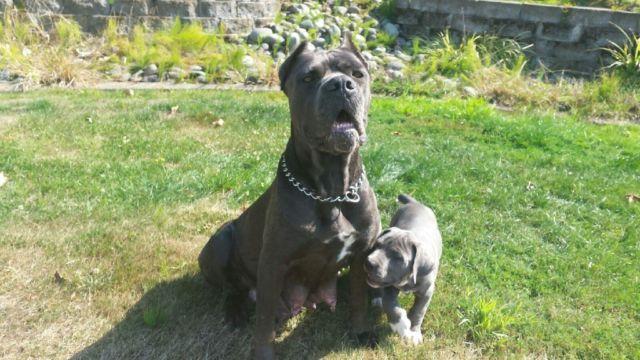 American Bandogge American Bulldog X Cane Corso Puppies 8 Weeks