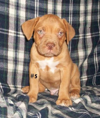 American Bandogge Mastiff Pups Adf