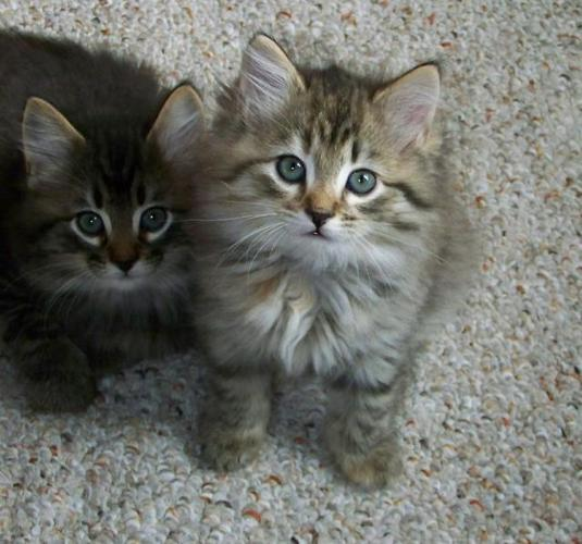 American Bobtail Cat Characteristics